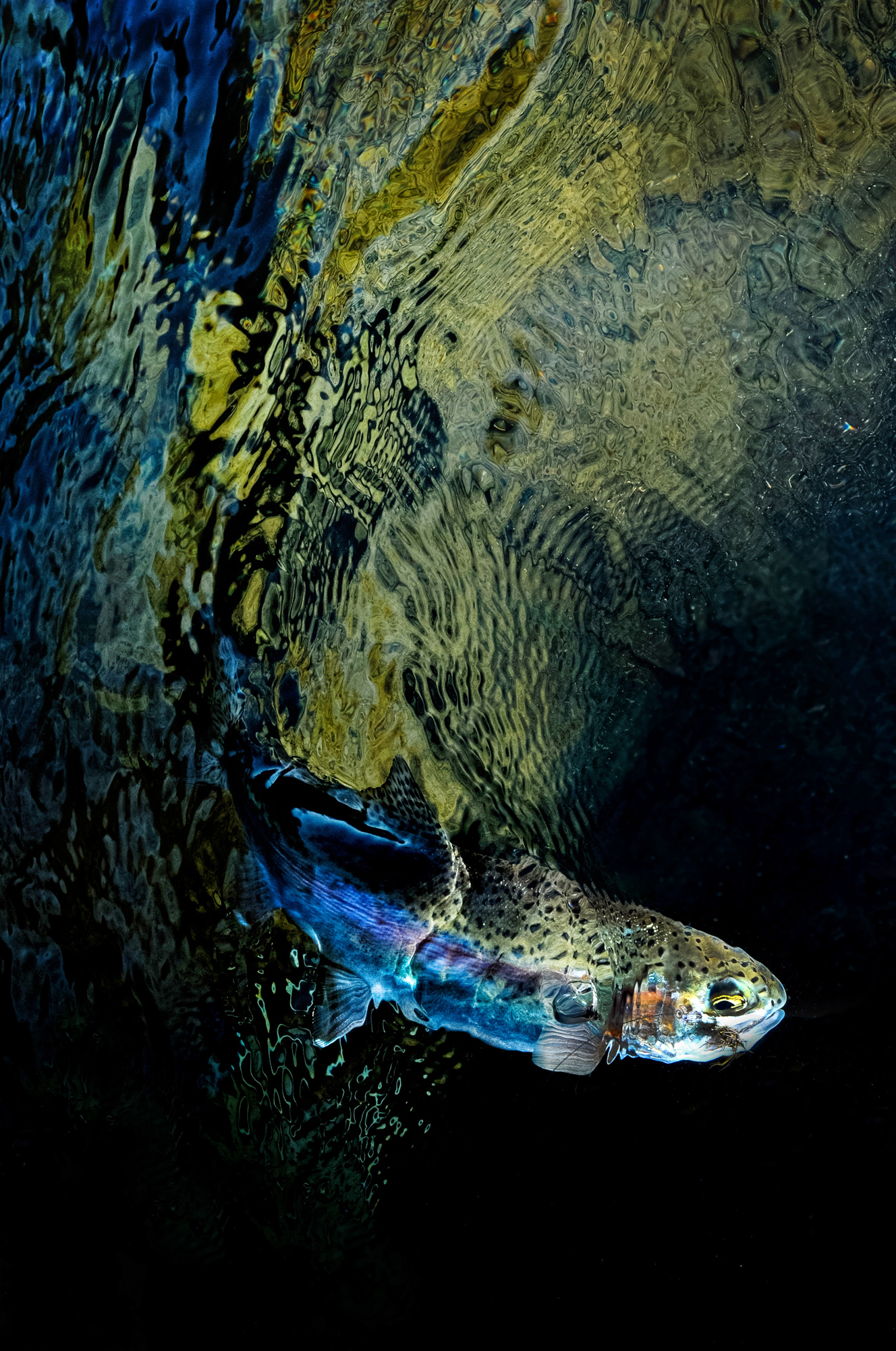 (RUNNER UP) The favorite of several judges, this ethereal capture -- full of contrast and depth -- of a wild 'redside' rainbow trout from Oregon's Mackenzie  River is one of those images you can't look away from.
