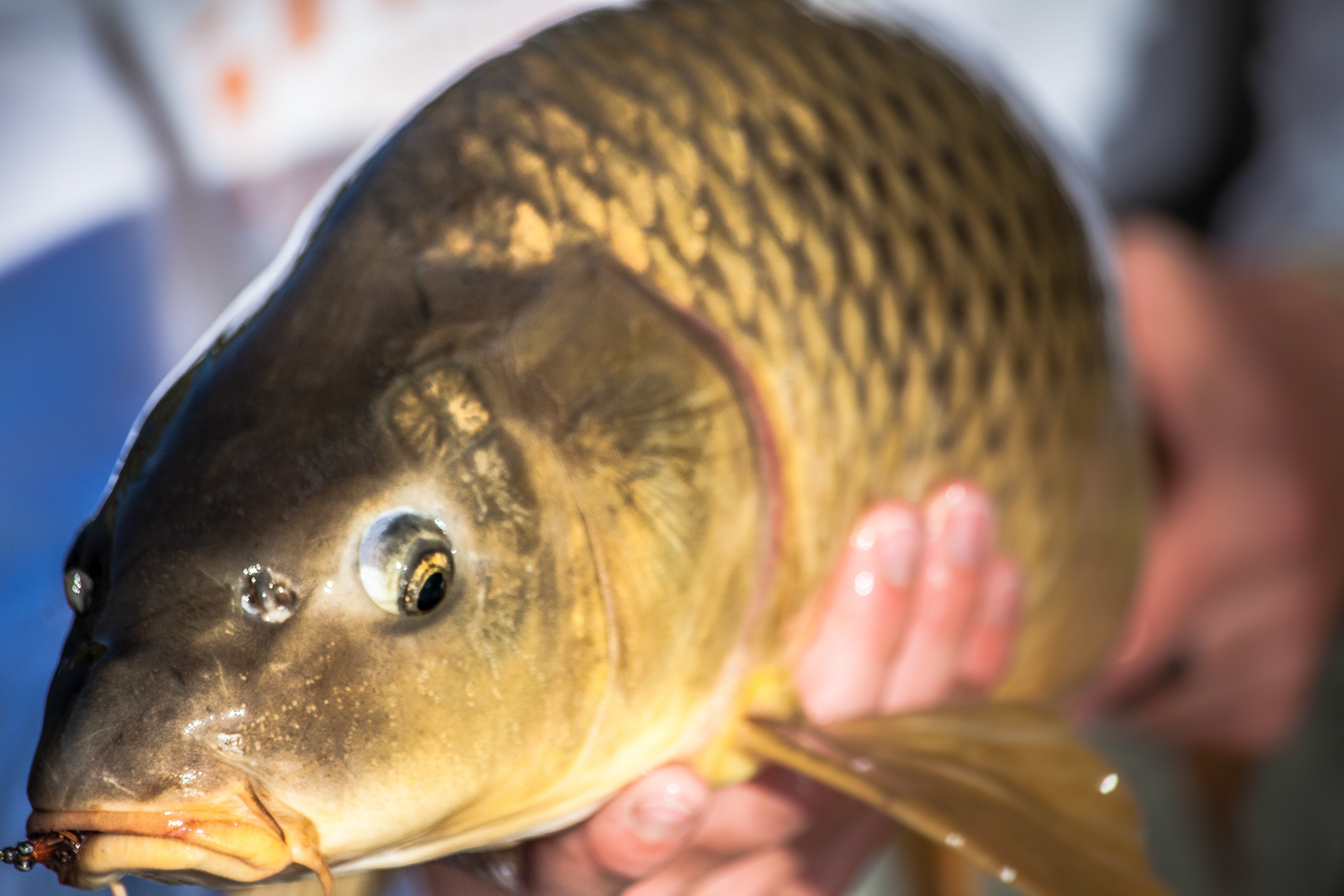 The golden bonefish is fair game, and a fighting change from shades of brown and rainbow.
