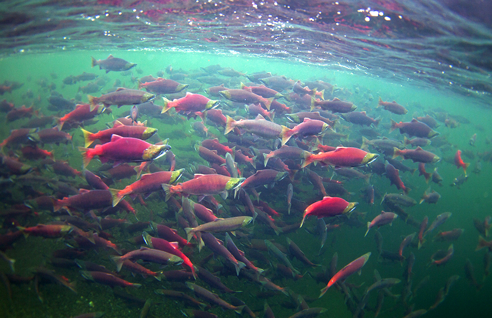 Salmon Kanektok River