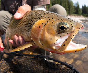 Fernie, British Columbia, Elk River Westslope Cutthroat Trout