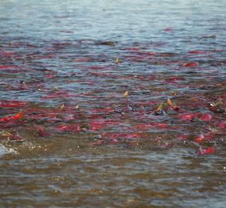 bristol bay sockeye salmon