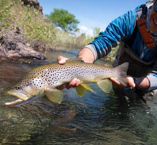 brown trout rio chimehuin
