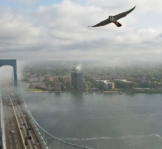peregrine falcon new york city