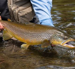 brown trout madison river