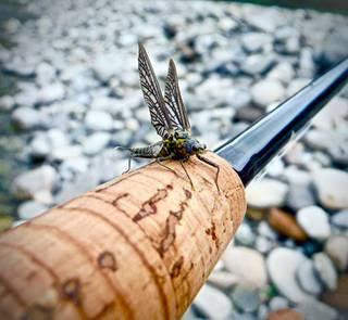 Green Drake Mayfly on fly rod
