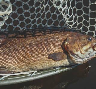 smallmouth bass - menominee river