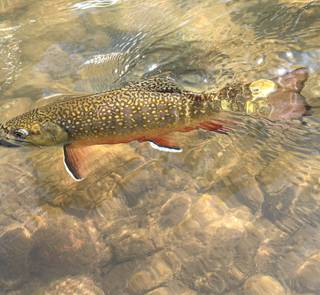 Rocky Mountain brook trout