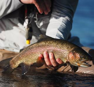 henry's fork cutbow trout