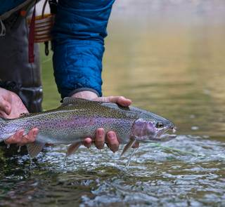 trout eating adams dry fly