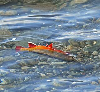 dying brook trout