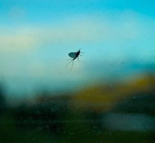 mayfly on windshield