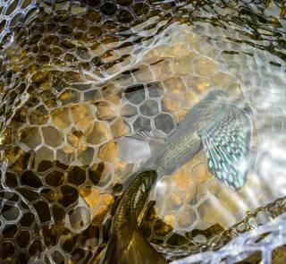 grayling - fly fishing