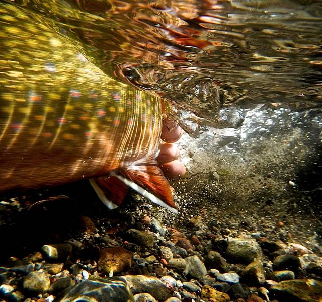 brook trout swimming