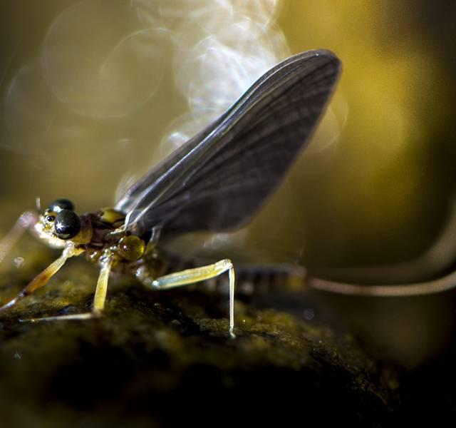 mayfly macro