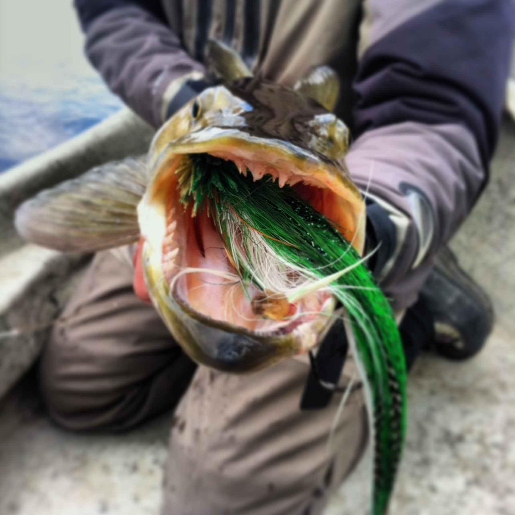 Musky teeth hatch magazine fly fishing etc for Muskie fish teeth