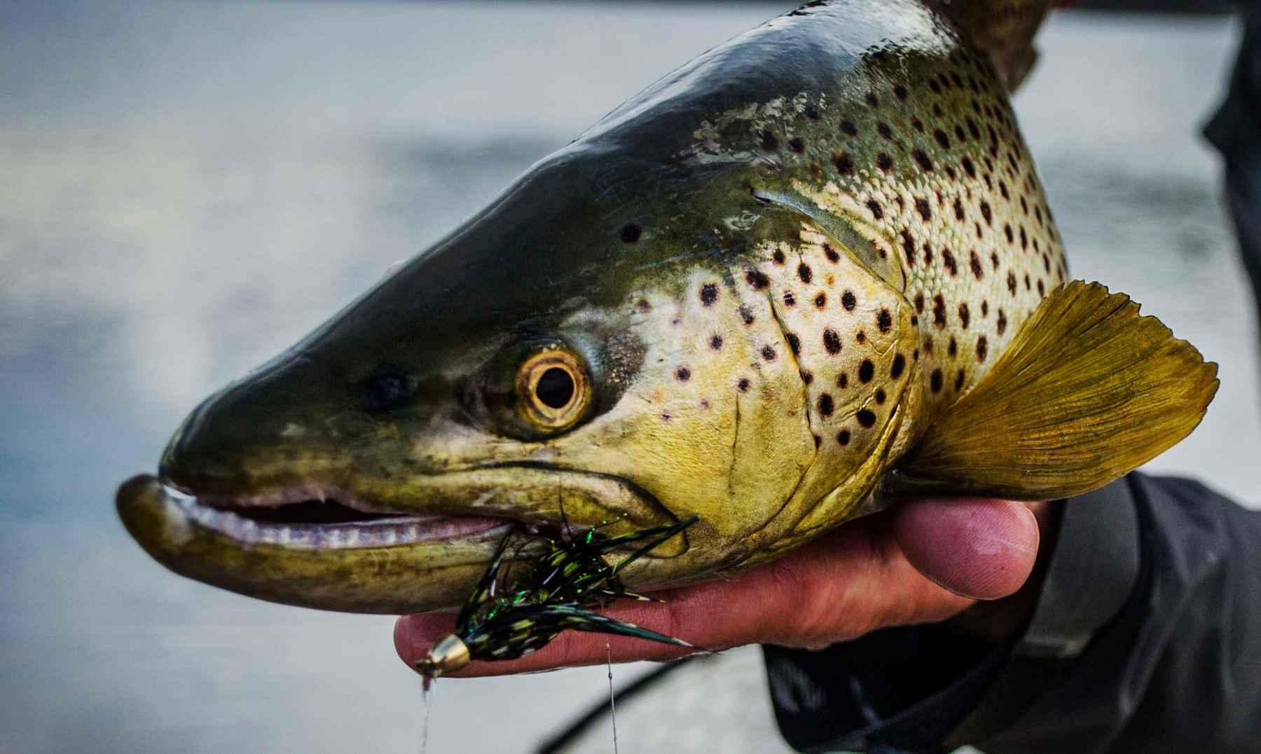 5 tips for better streamer fishing hatch magazine fly for Trout fishing basics