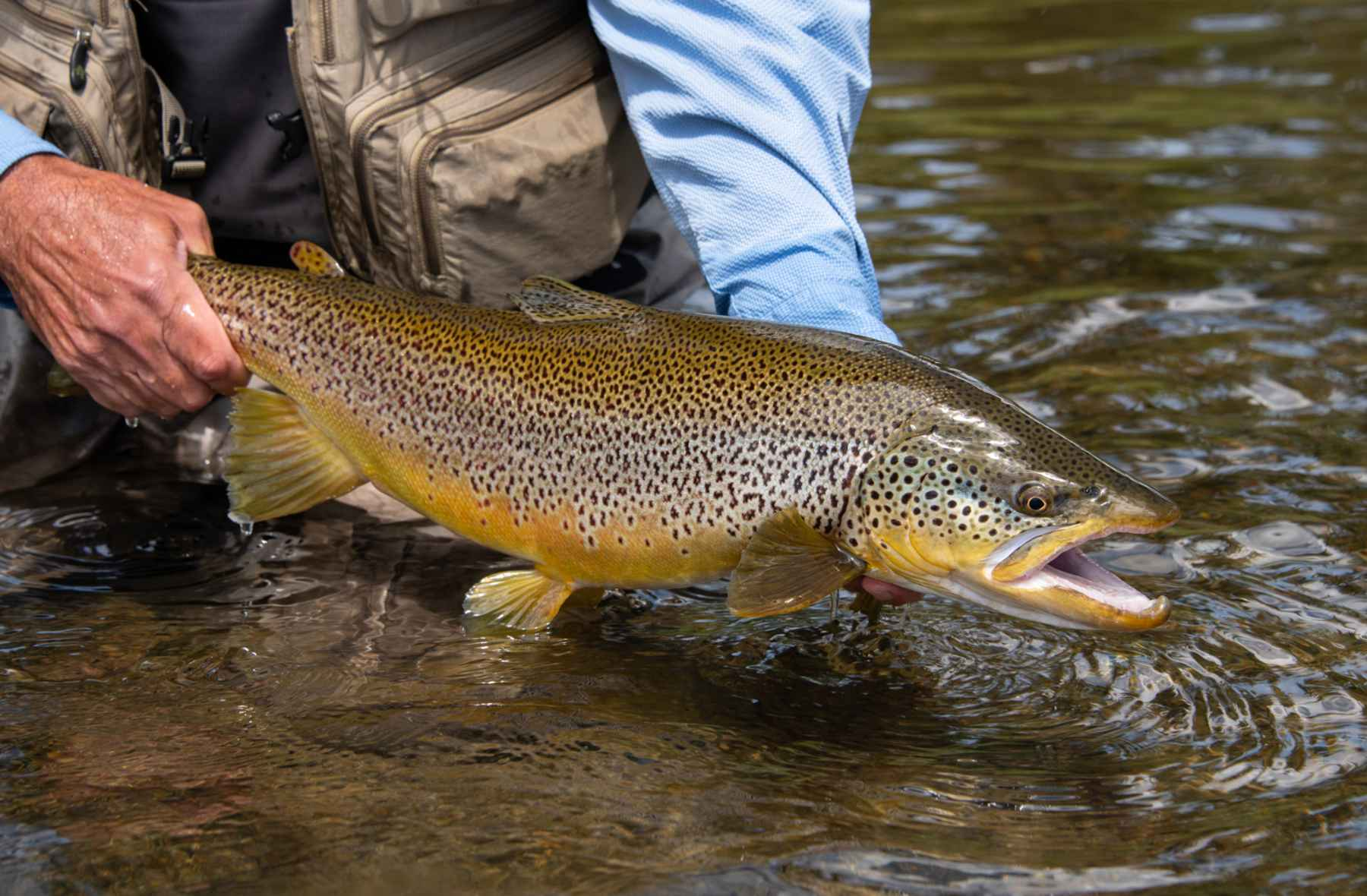 A brown trout quirk | Hatch Magazine - Fly Fishing, etc.
