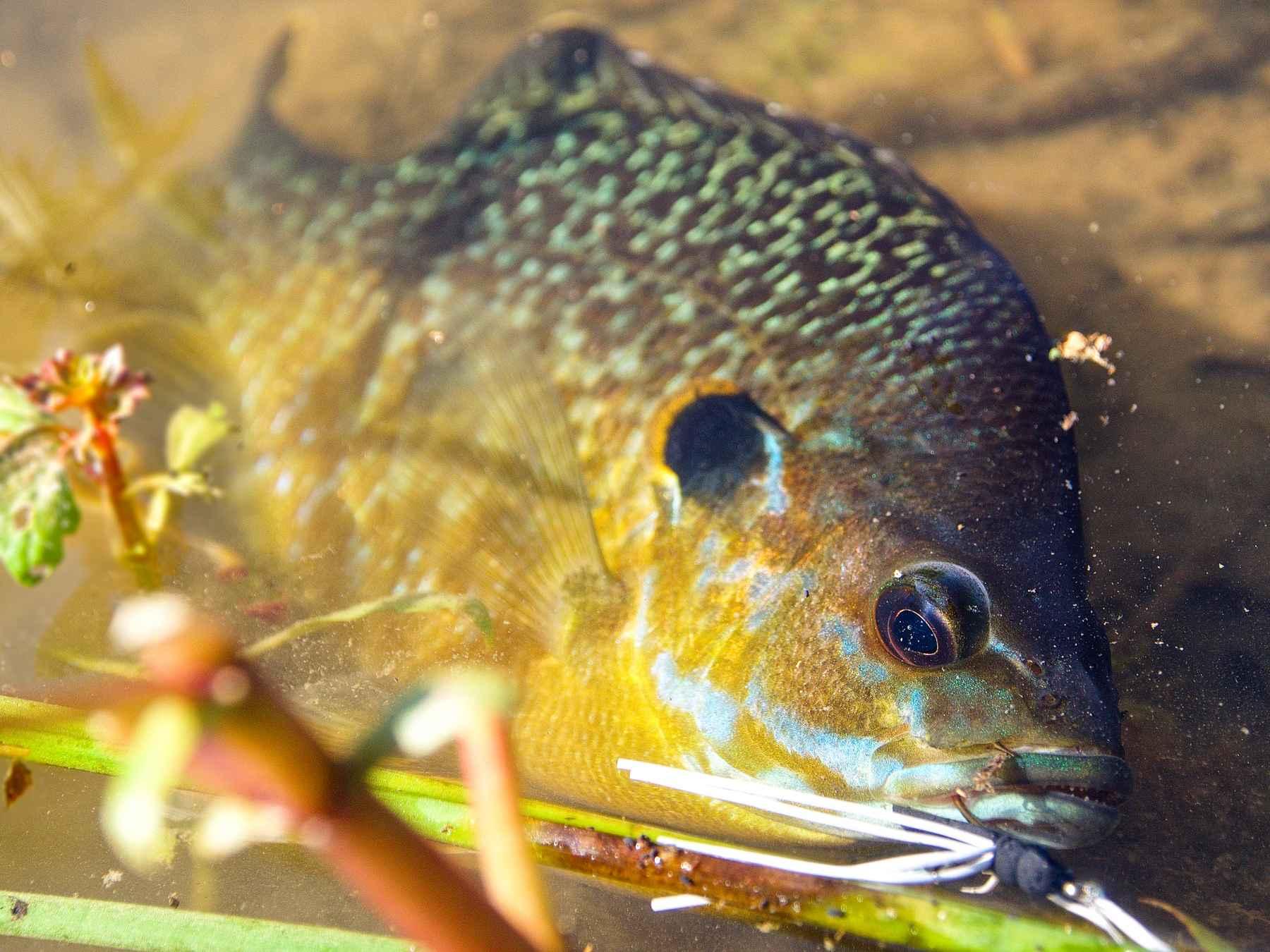yellow bluegill sunfish perch flies TINY Bluegill poppers!
