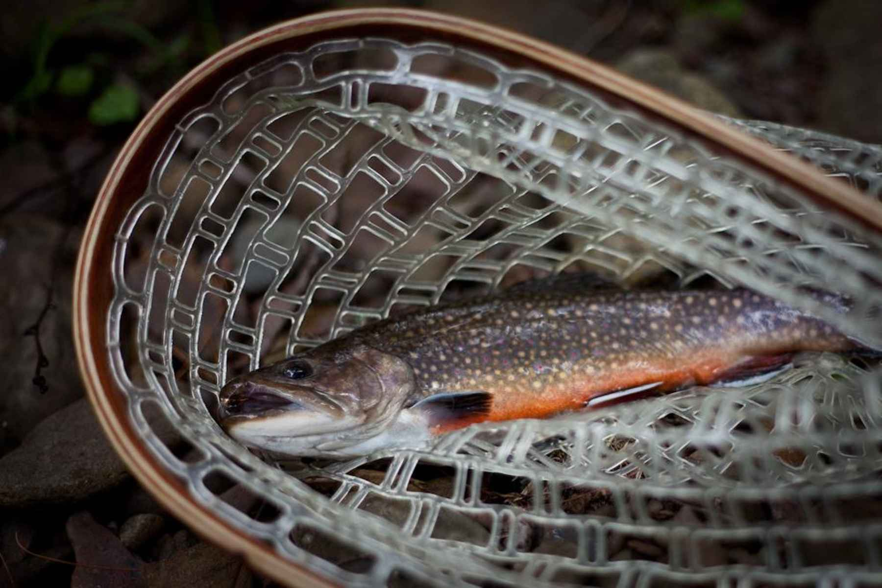 Trout and water temperature: How hot is too hot? | Hatch Magazine