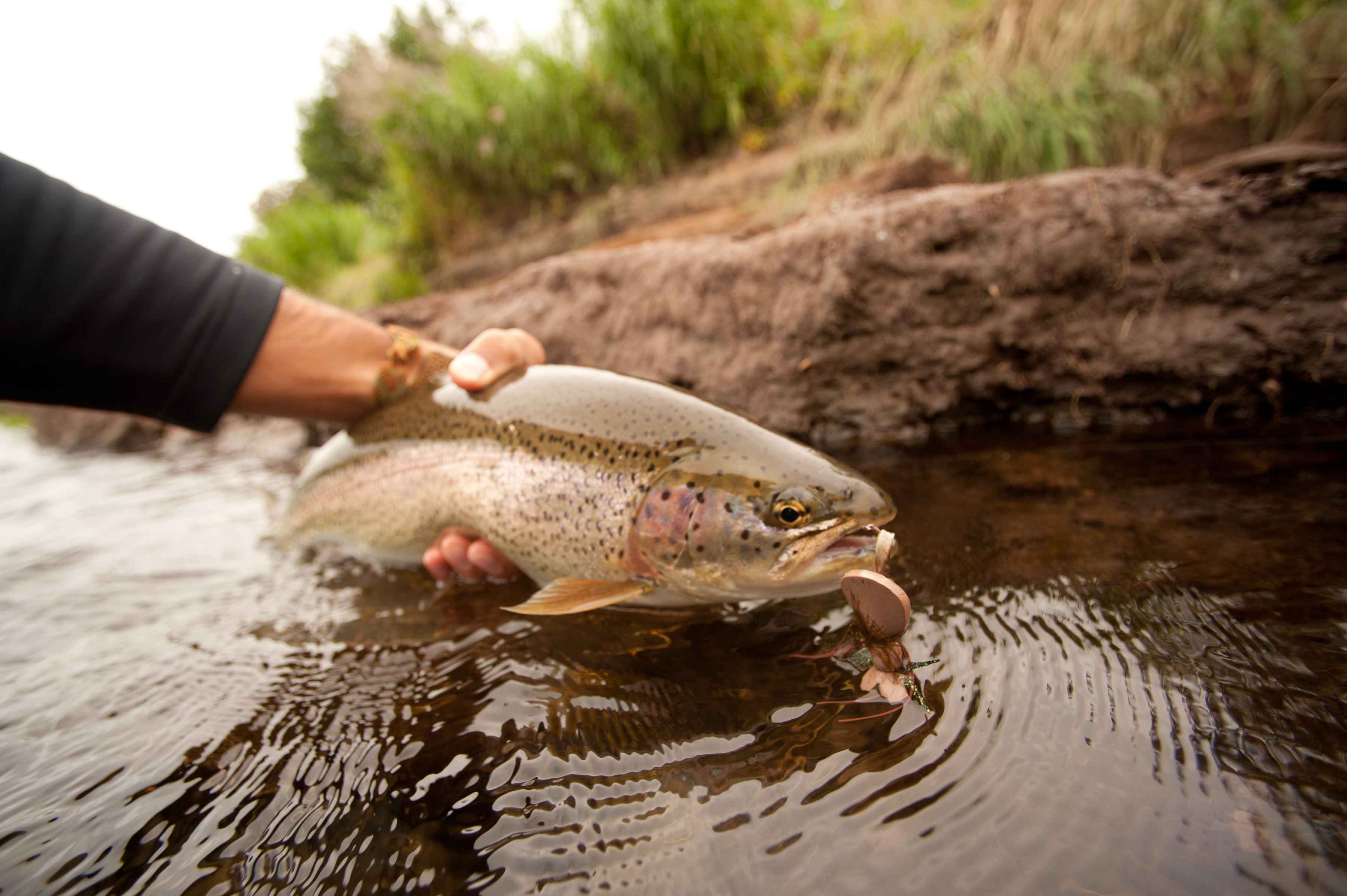 mouse fishing kamchatka rainbow trout