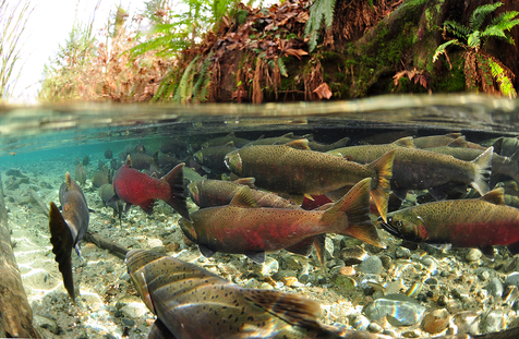 Into the Salmon World - Paul Vecsei