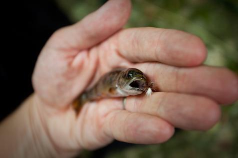 Wild Brook Trout 1