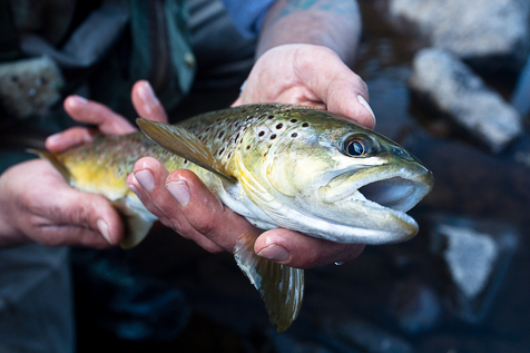 An early spring brown trout from Pennsylvania's Lehigh River.