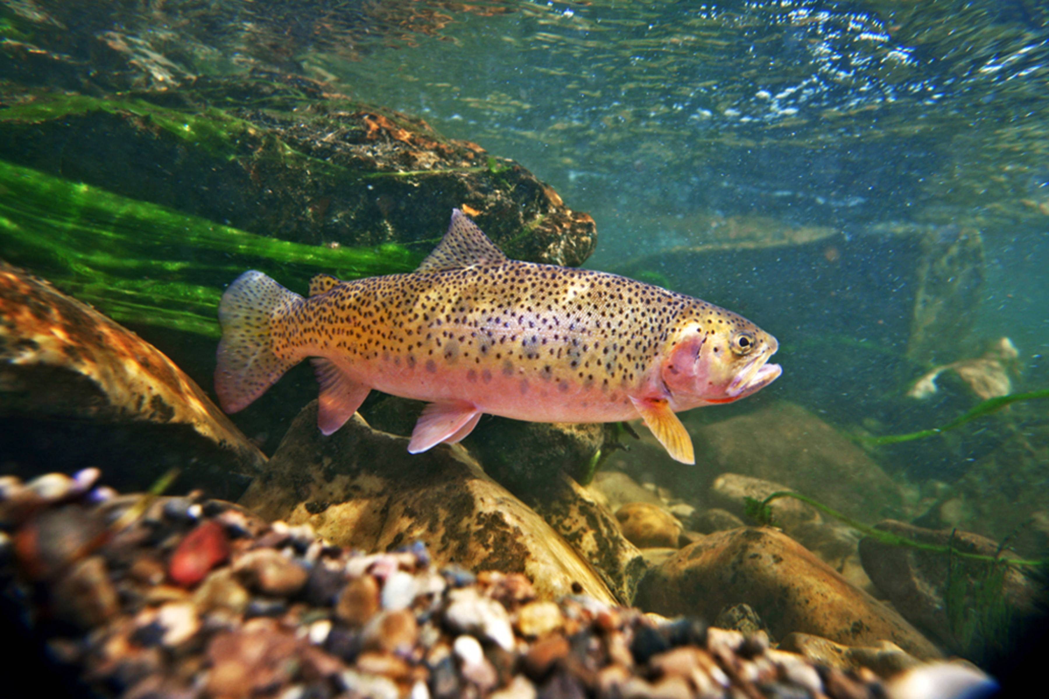 Photography yellowstone and its cutthroat trout hatch for Trout fishing videos