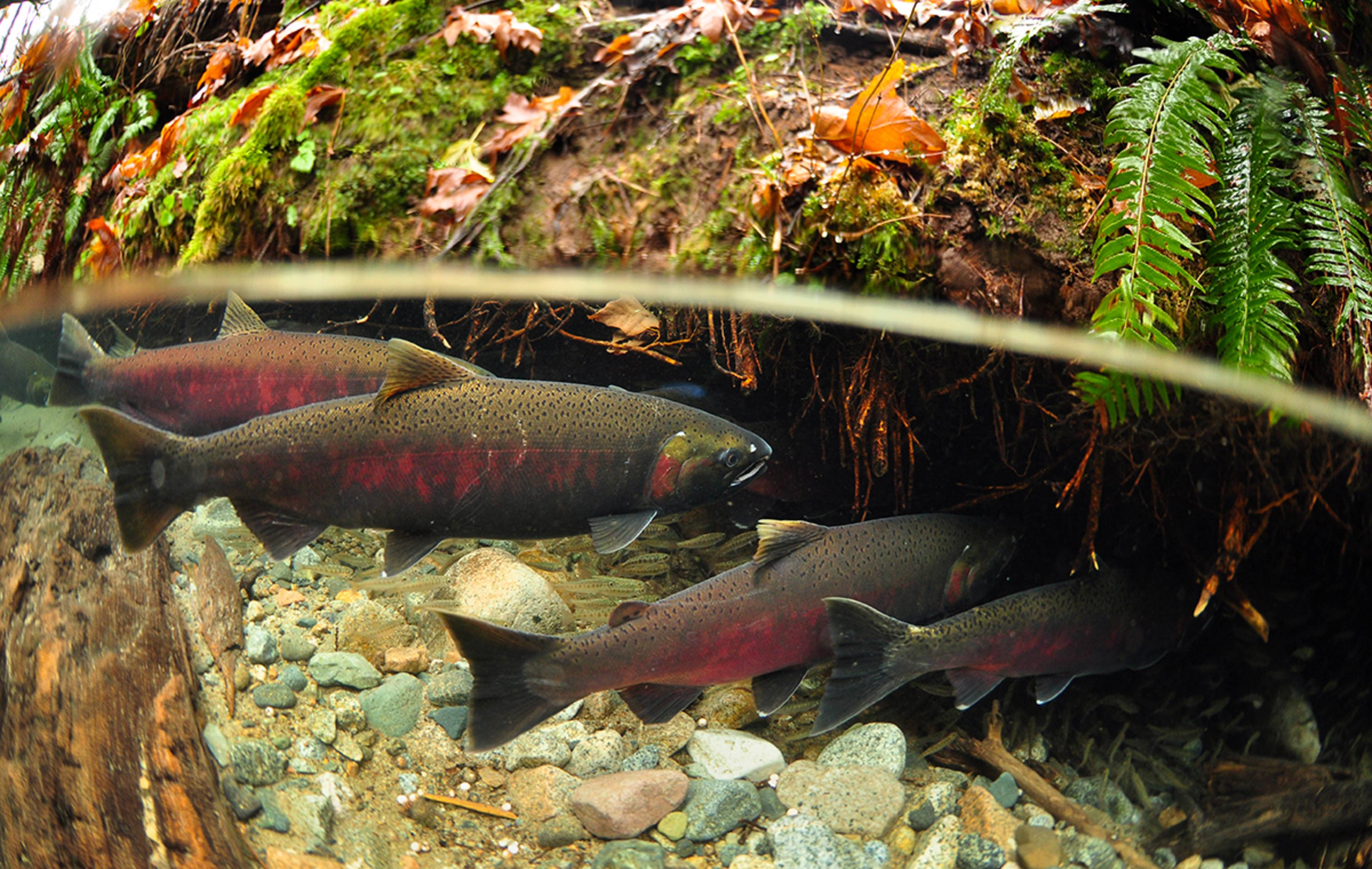 Underwater and salmon on pinterest for Fish and stream