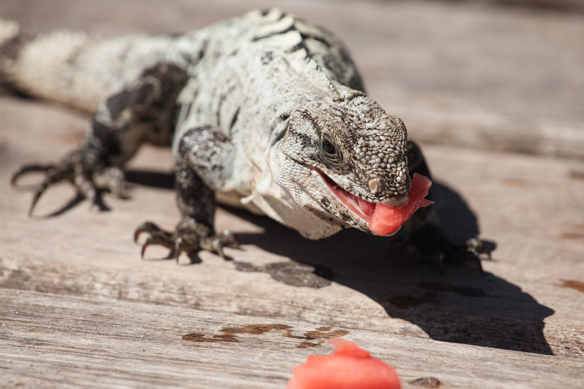 And resident iguana 'Stella' prowls for watermelon.