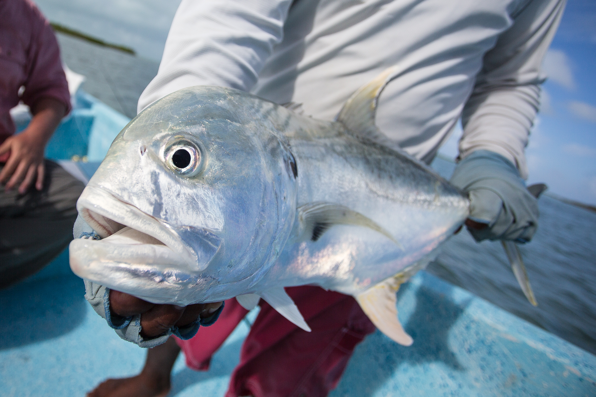 The bay offers no shortage of distractions from the search for permit. Jack crevalle are plentiful and easy to catch. Even the tiniest jacks can put a healthy bend in an eight weight. Quarry like this 12 pound horsehead jack, will bruise as well as other fish three times its size (photo: Chad Shmukler).
