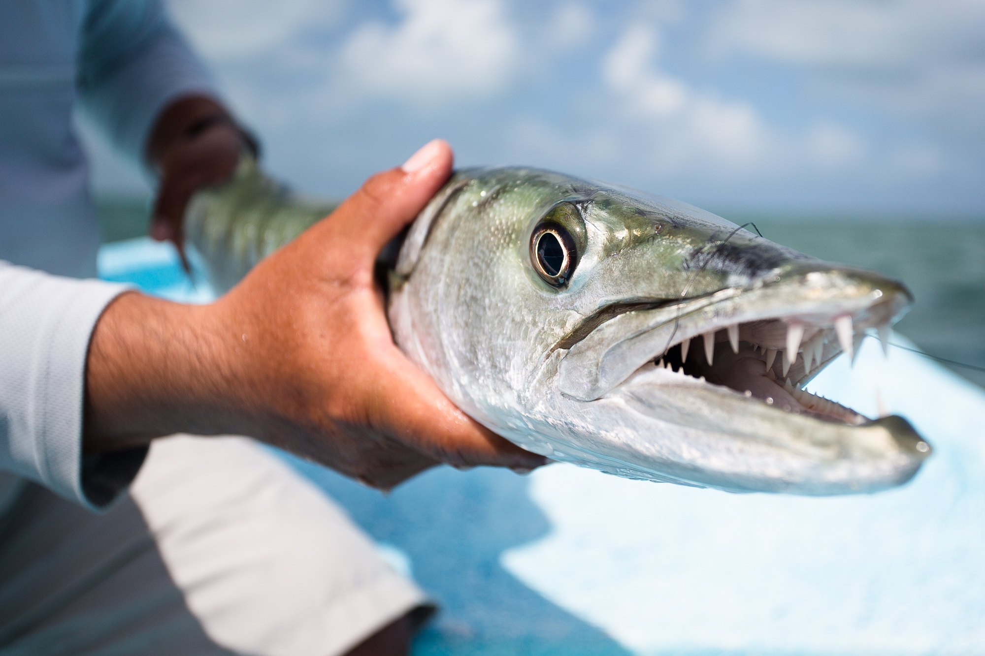 Barracuda are a woefully under-targeted species on the flats. This minor specimen attacked the fly with almost incomprehensible speed and aggression and doubled over a stiff 9 weight for the duration of an extended fight (photo: Chad Shmukler).