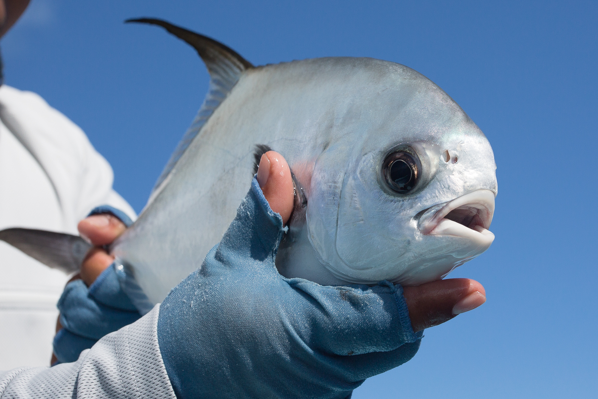 This small permit was plucked from fairly deep water while exploring a blue hole in search of barracuda. When it is the first of the day, even small permit are big. (photo: Chad Shmukler)