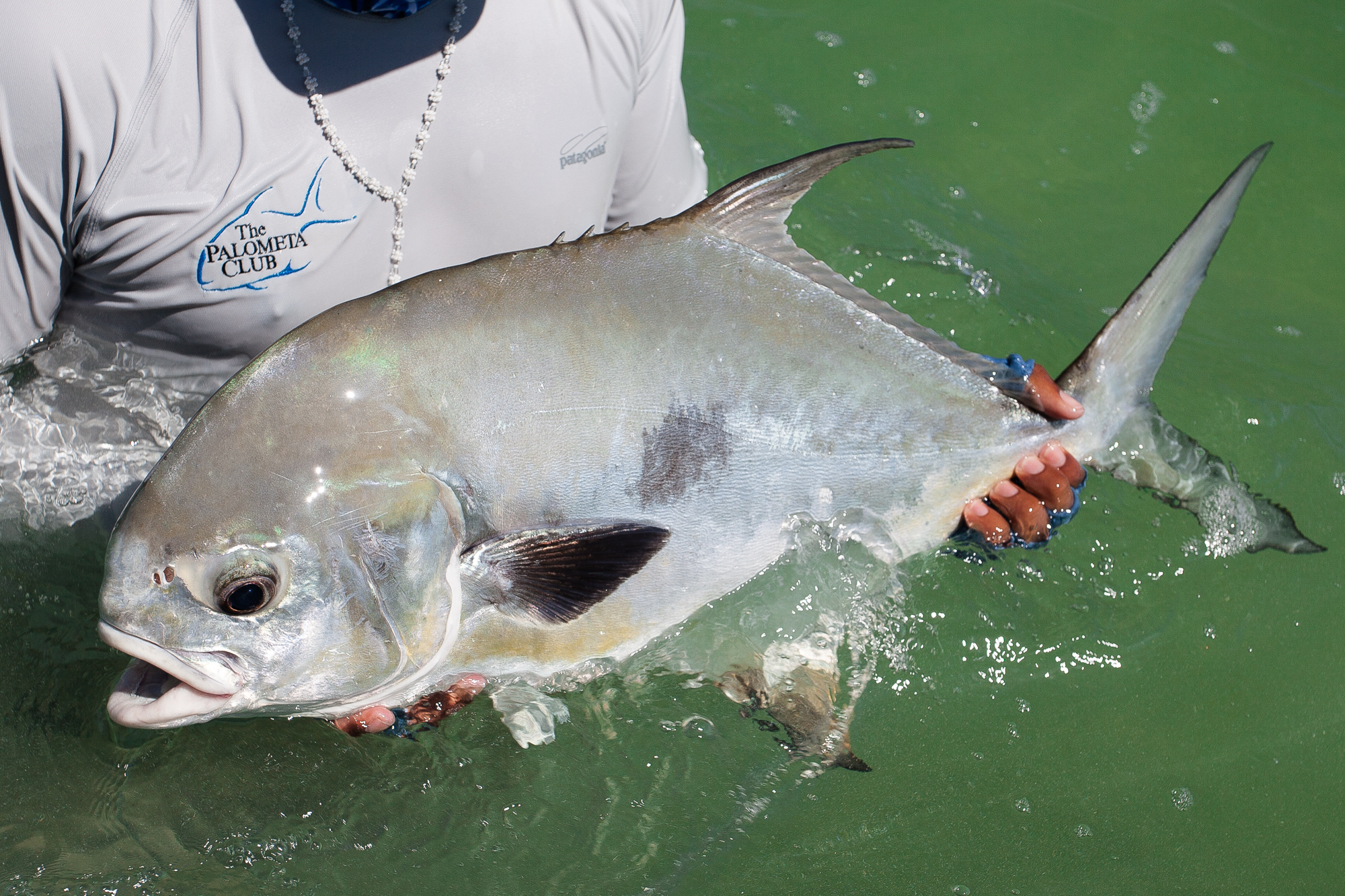 (2/3) When the conditions on the bay are typical, shots at permit can be plentiful. With the early morning hex broken by a successful foot chase, the shots keep coming, a mere fraction of which are properly taken advantage of. In all, four permit find their way to the boat for tagging, with shots at many more blown along the way (photo: Chad Shmukler).