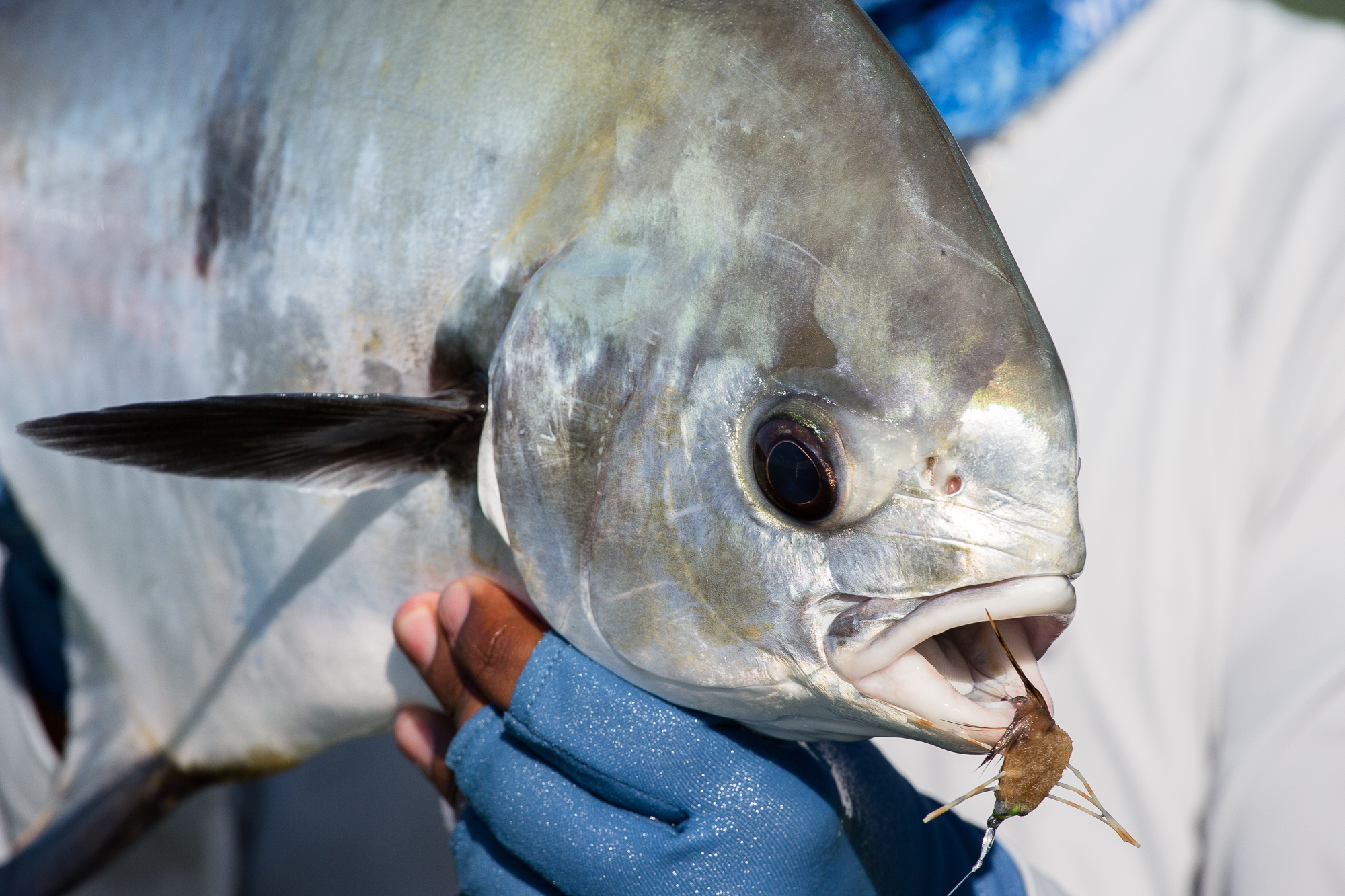 (3/3) When the conditions on the bay are typical, shots at permit can be plentiful. With the early morning hex broken by a successful foot chase, the shots keep coming, a mere fraction of which are properly taken advantage of. In all, four permit find their way to the boat for tagging, with shots at many more blown along the way (photo: Chad Shmukler).