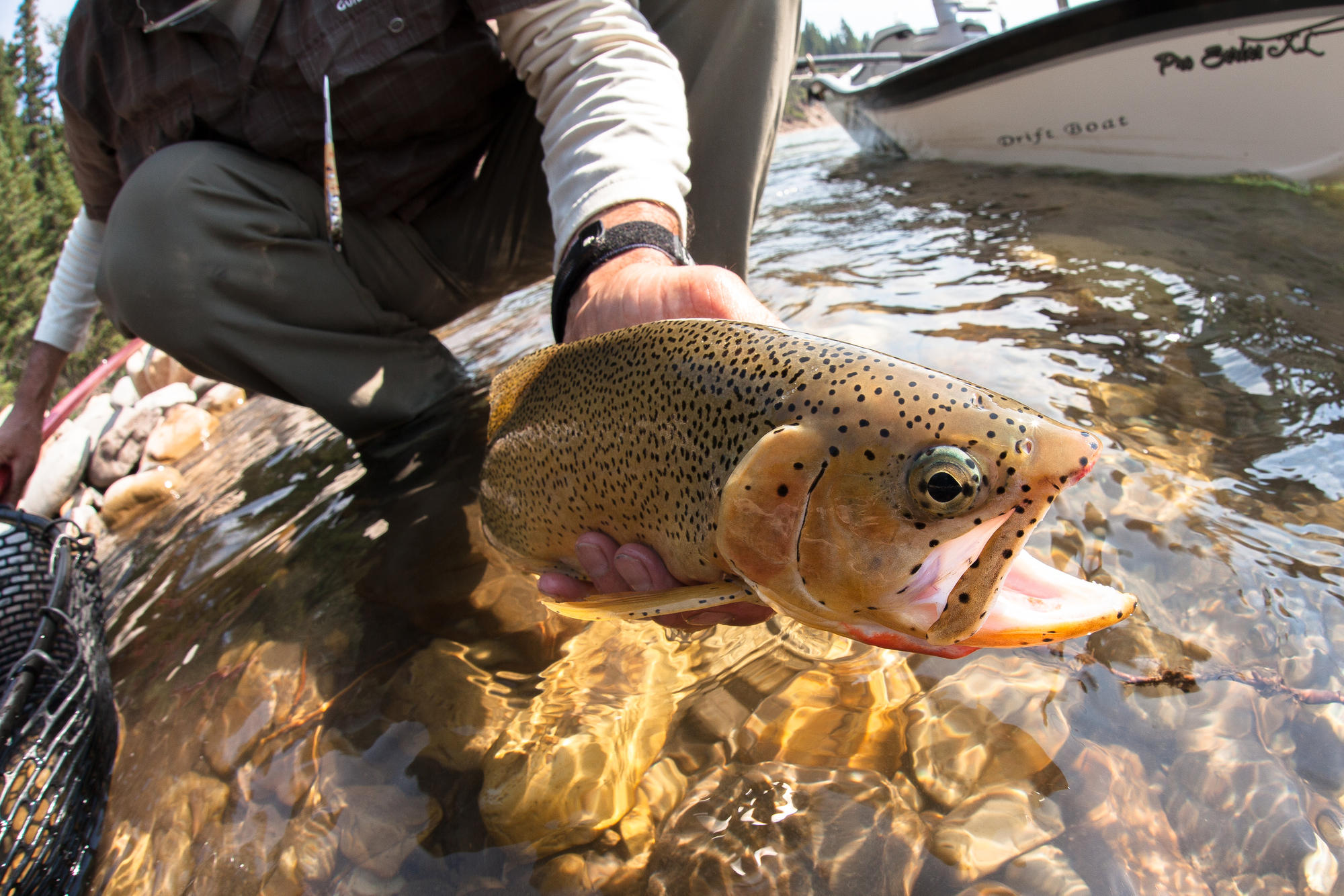 (1/4) Exceeding the Elk in its beauty are only its cutthroat, impossibly handsome, pepper-spotted fish hued in all manner of yellow, gold, orange and red. Virtually every fish that comes to hand is a sight to behold. These rivers simply don't breed duds.