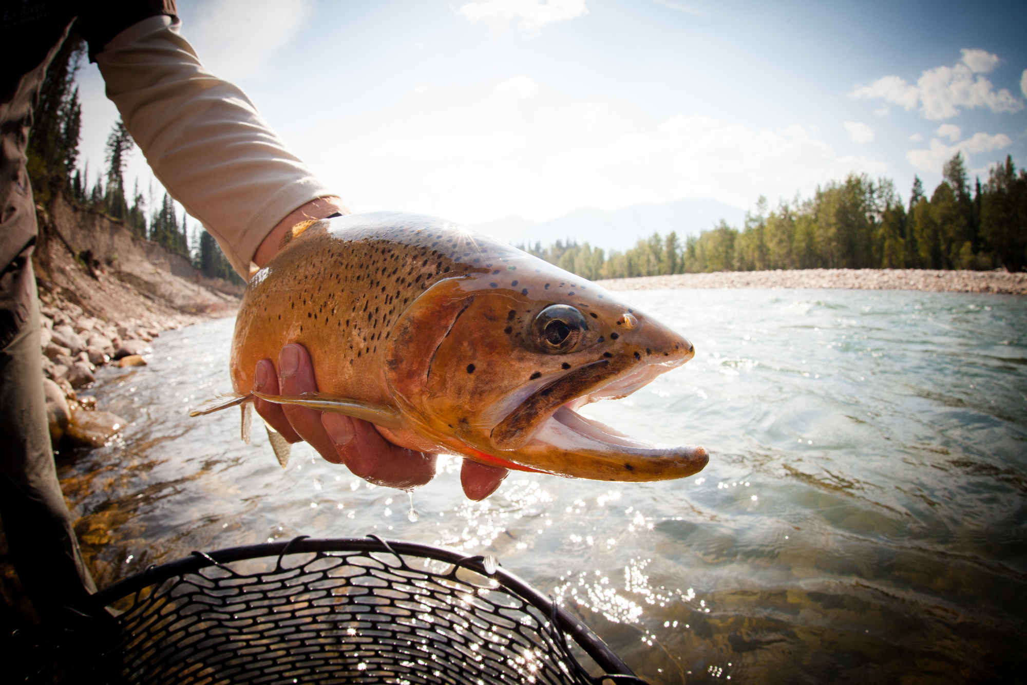 (4/4) Exceeding the Elk in its beauty are only its cutthroat, impossibly handsome, pepper-spotted fish hued in all manner of yellow, gold, orange and red. Virtually every fish that comes to hand is a sight to behold. These rivers simply don't breed duds.