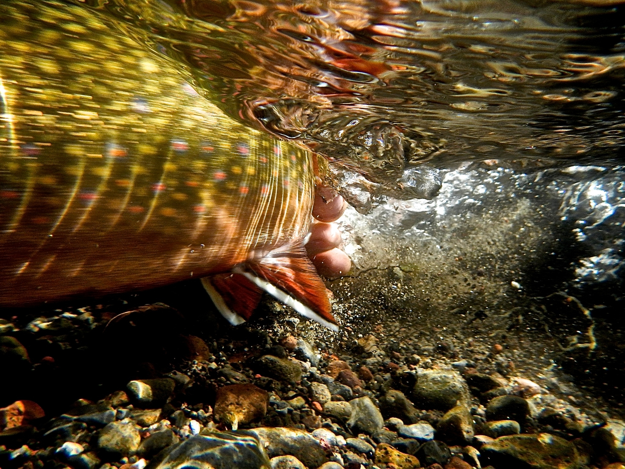 An absolute favorite of some of this year's judges, this shot by Will Griffith's of a Upper Deschutes River brook trout, is alive with energy and color.