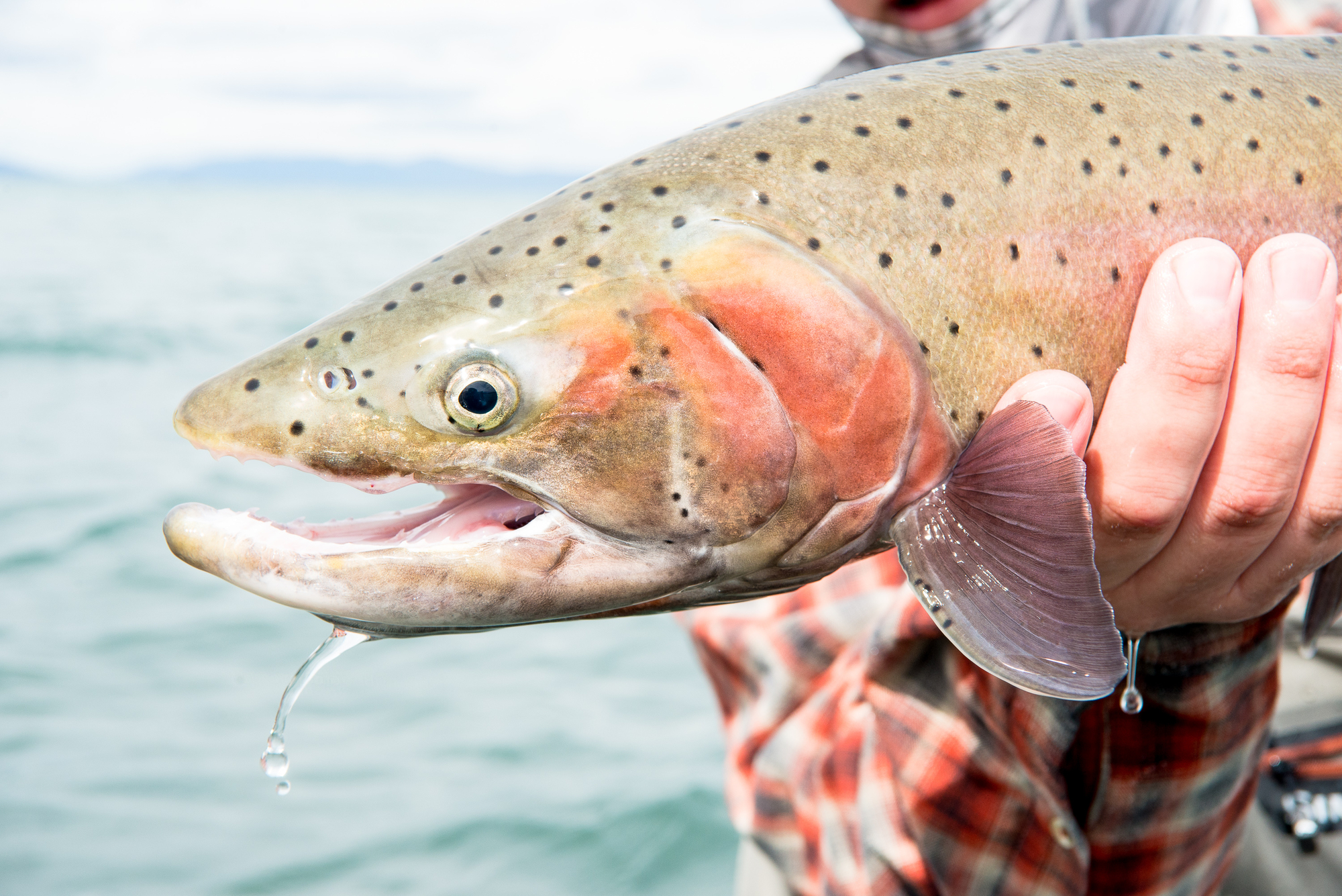 (2/2) The Lahontan Cutthroat are a fine looking species, and pose well for the camera. When fishing sinking lines, it's important to keep the flies close to the bottom. A weighted front fly can help get your leader down when using foam bugs.