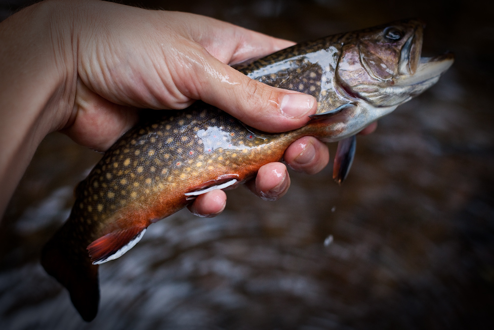This beautifully colored brookie is not getting the death grip, despite appearances.
