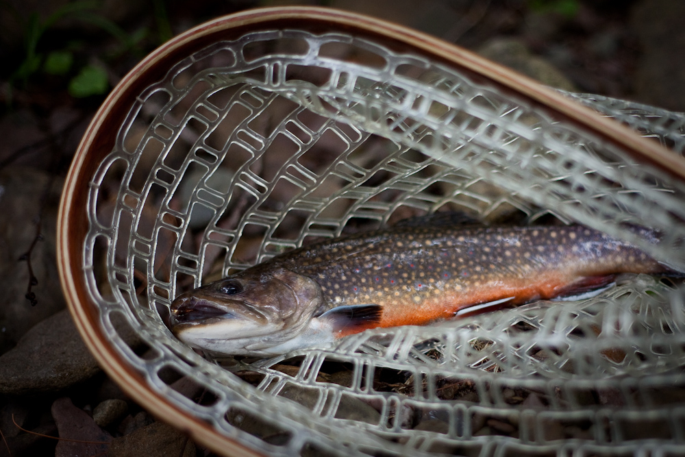 Another nicely colored brook trout.