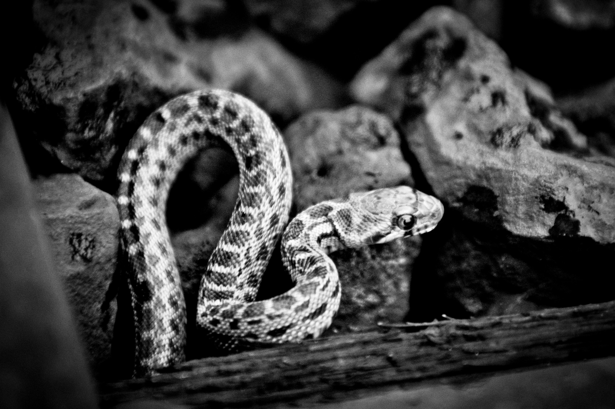 An unexpected late Fall juvenile rattlesnake takes cover along the warmth of the steel train tracks.  We figured it was way way too late and too cold for this to be a factor.  They are pretty adorable at this size, you almost want to cuddle with it.