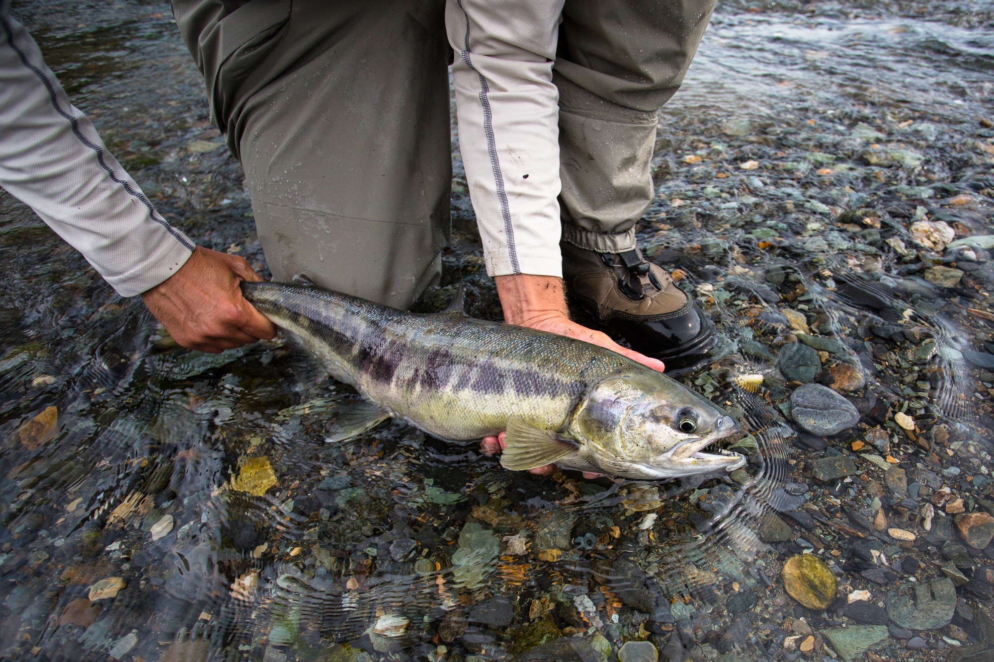 Though our quarry here are the dolly varden that have followed the chum salmon into the creek, a healthy number of chum salmon are hooked. Due to the extremely shallow water, some of these are accidentally lined or flossed in the search for dollies, but others -- like those shown here -- will inexplicably break from their spawning behavior to chase and eat an egg imitation. The heft of a 10 pound chum salmon on a 4 or 5 weight rod is a recipe for a sore arm, a broken rod, or both (photo: Chad Shmukler).