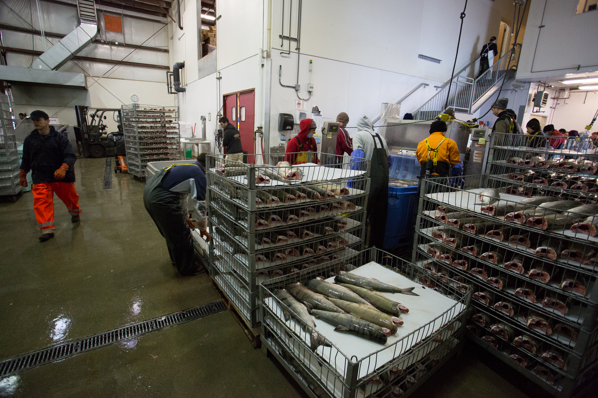 "(3/4) Dotting the shorelines of Alaska's southeast are numerous seafood processing facilities, like this one, where catches are delivered daily and quickly processed, packaged and shipped for sale. Here, processors work through a haul of chum salmon, which will be sold commercially as ""keta"" or ""silverbrite"" salmon (photo: Chad Shmukler)."