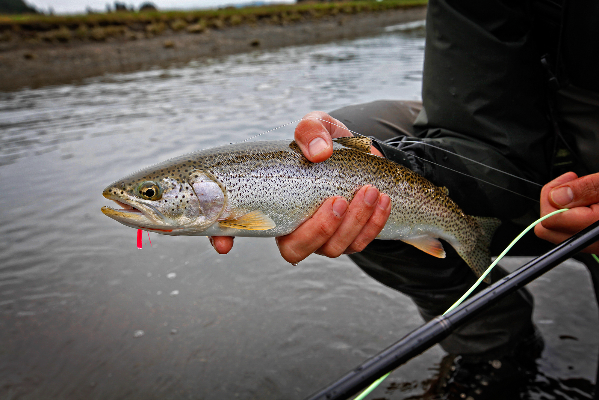 The surprise for the day -- well, aside from how much gut aching laughter is produced by repeatedly catching pacific salmon on surface flies more suited to largemouth bass  -- is this beautiful, feisty cutthroat trout (photo: Earl Harper).