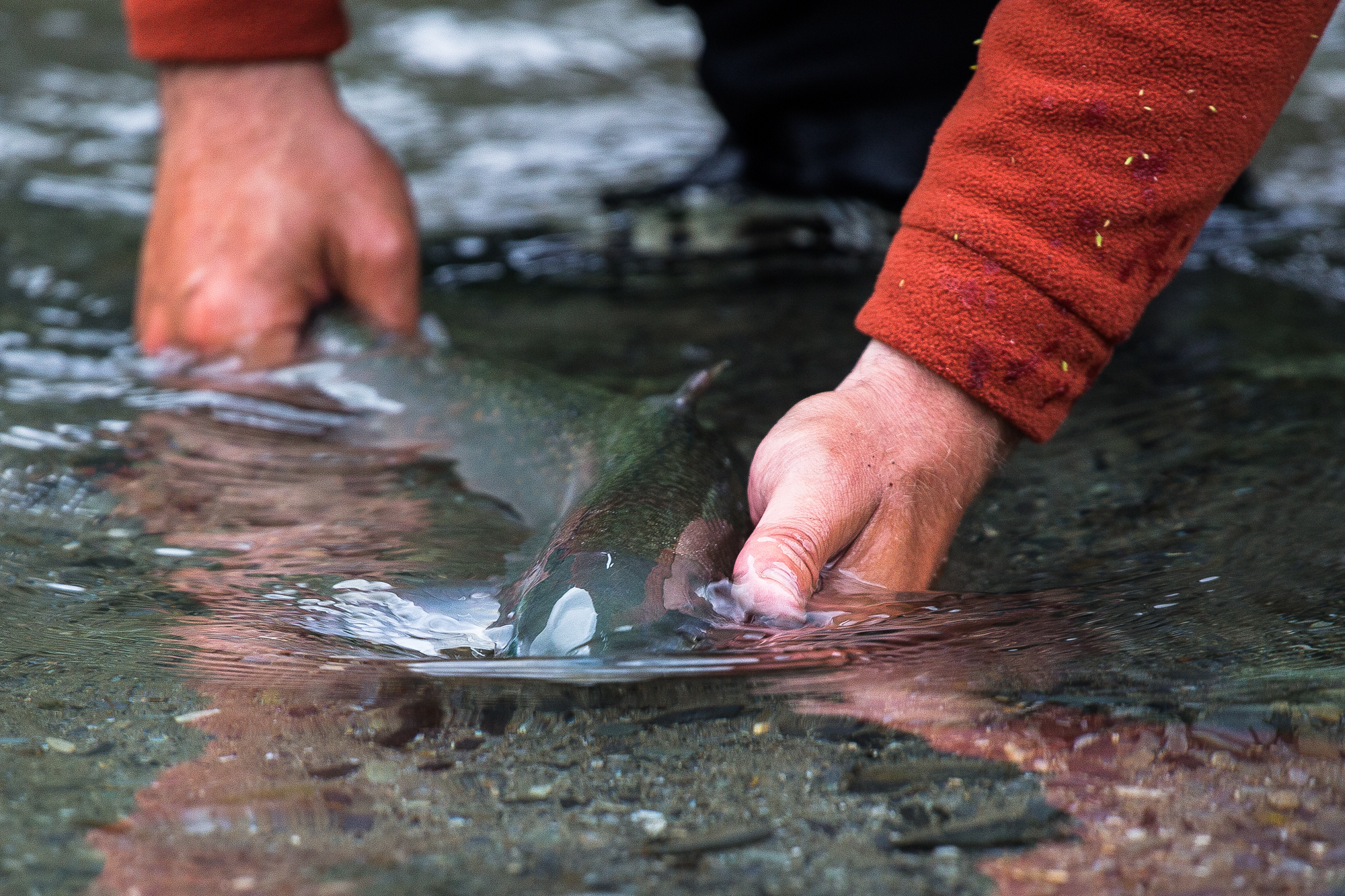 (3/3) The chum and dolly varden in this creek are impressive specimens. Many of the dolly varden, which gorge virtually non-stop all summer long on salmon eggs, will top 30 inches in length (photo: Chad Shmukler).