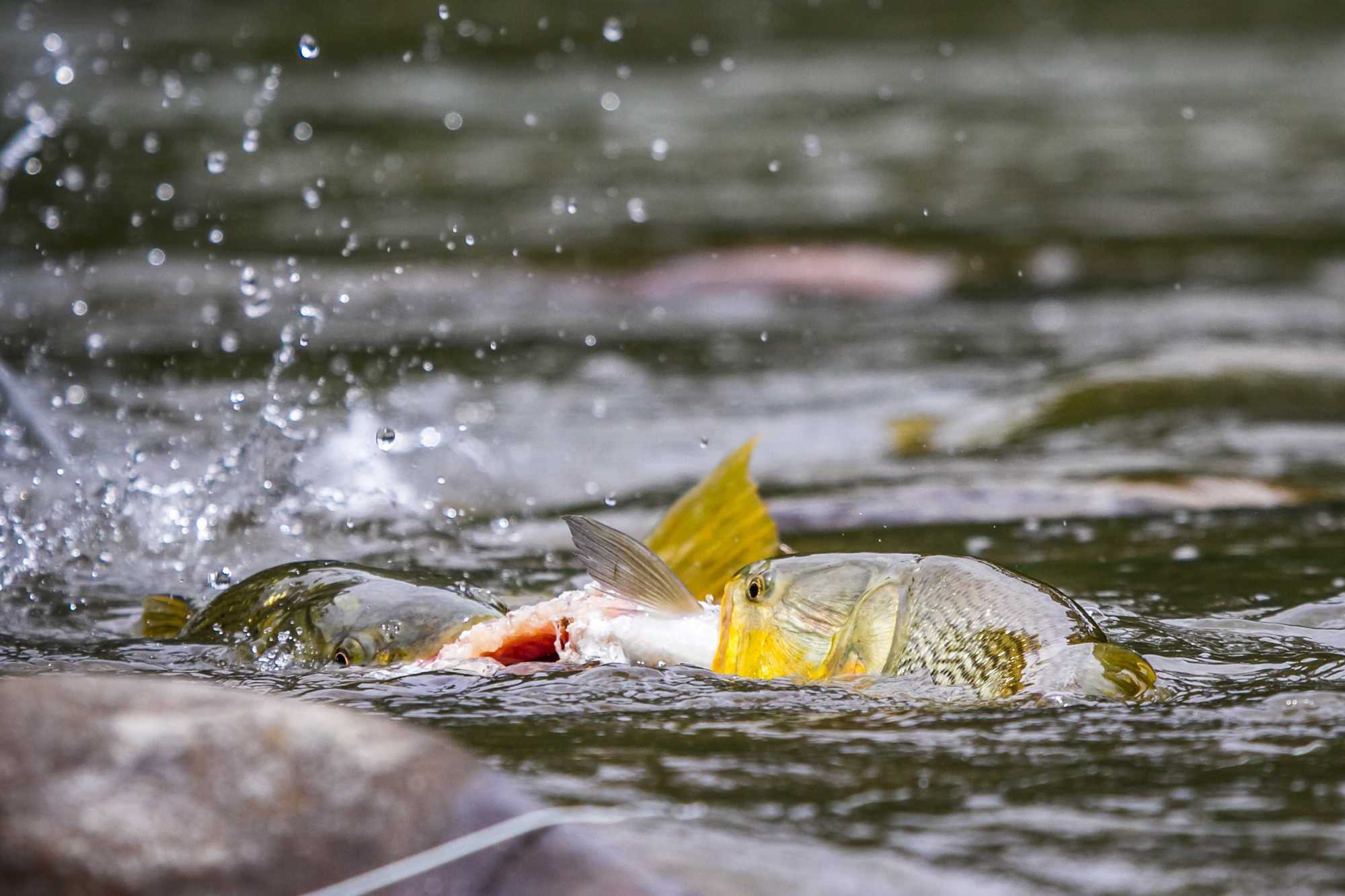 Two dorado - one sabalo. These golden dorado ultimately rip this fish apart and gorge themselves on an easy meal while an angler tries to present a fly to them. Of course they ignored the presentation.