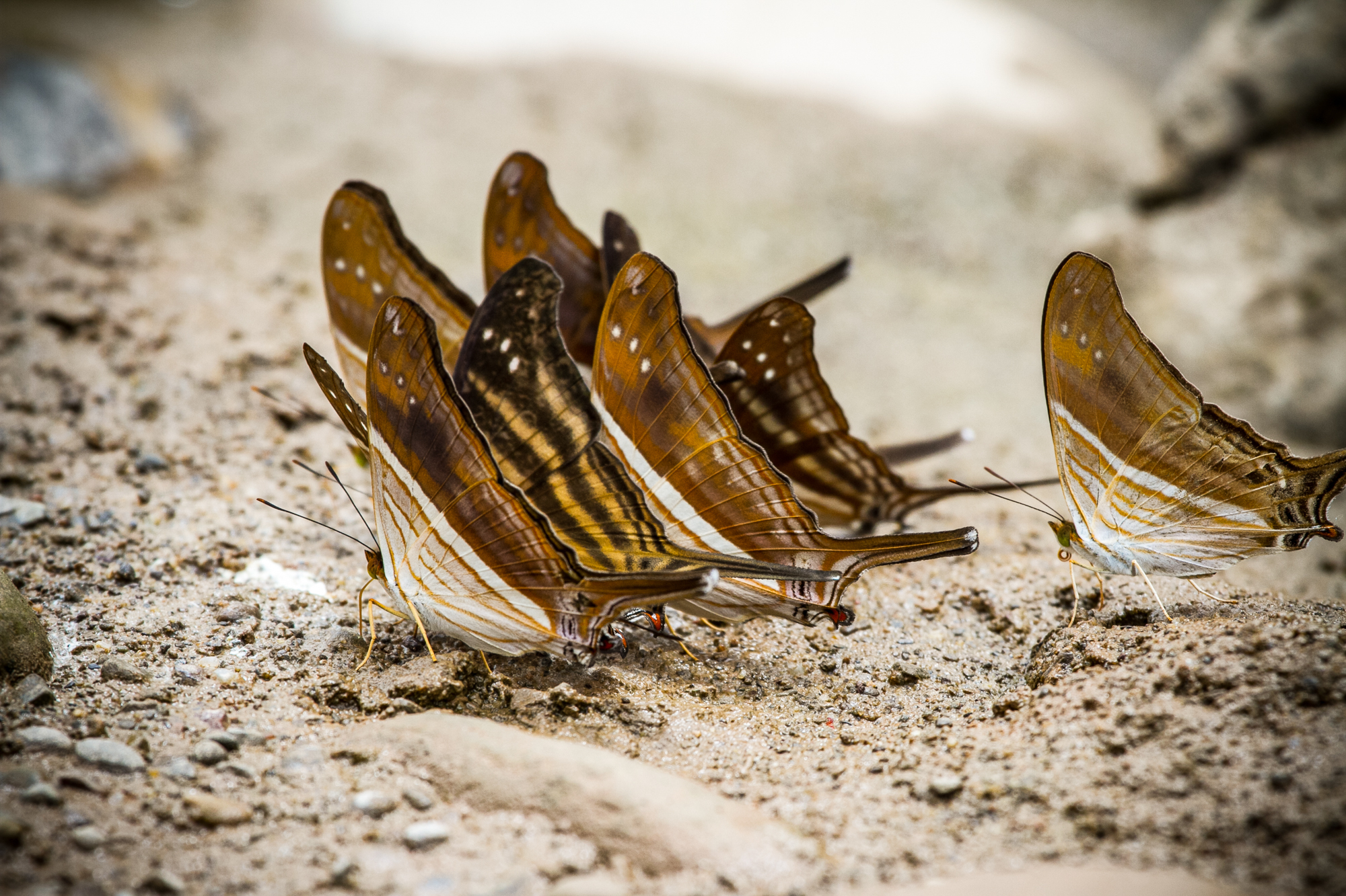 A group of beautiful brown butterflies.
