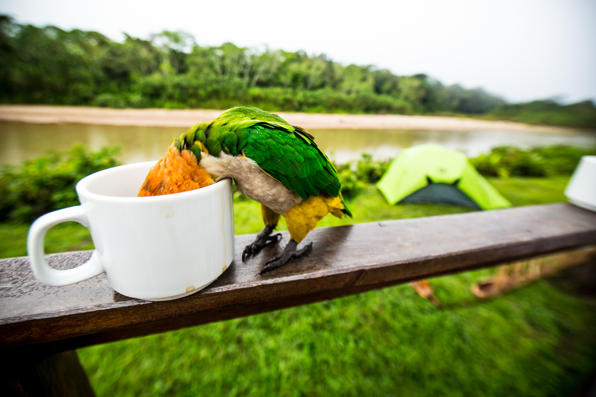 A white bellied parrot named Profundo, takes a sip of strong Bolivian coffee.