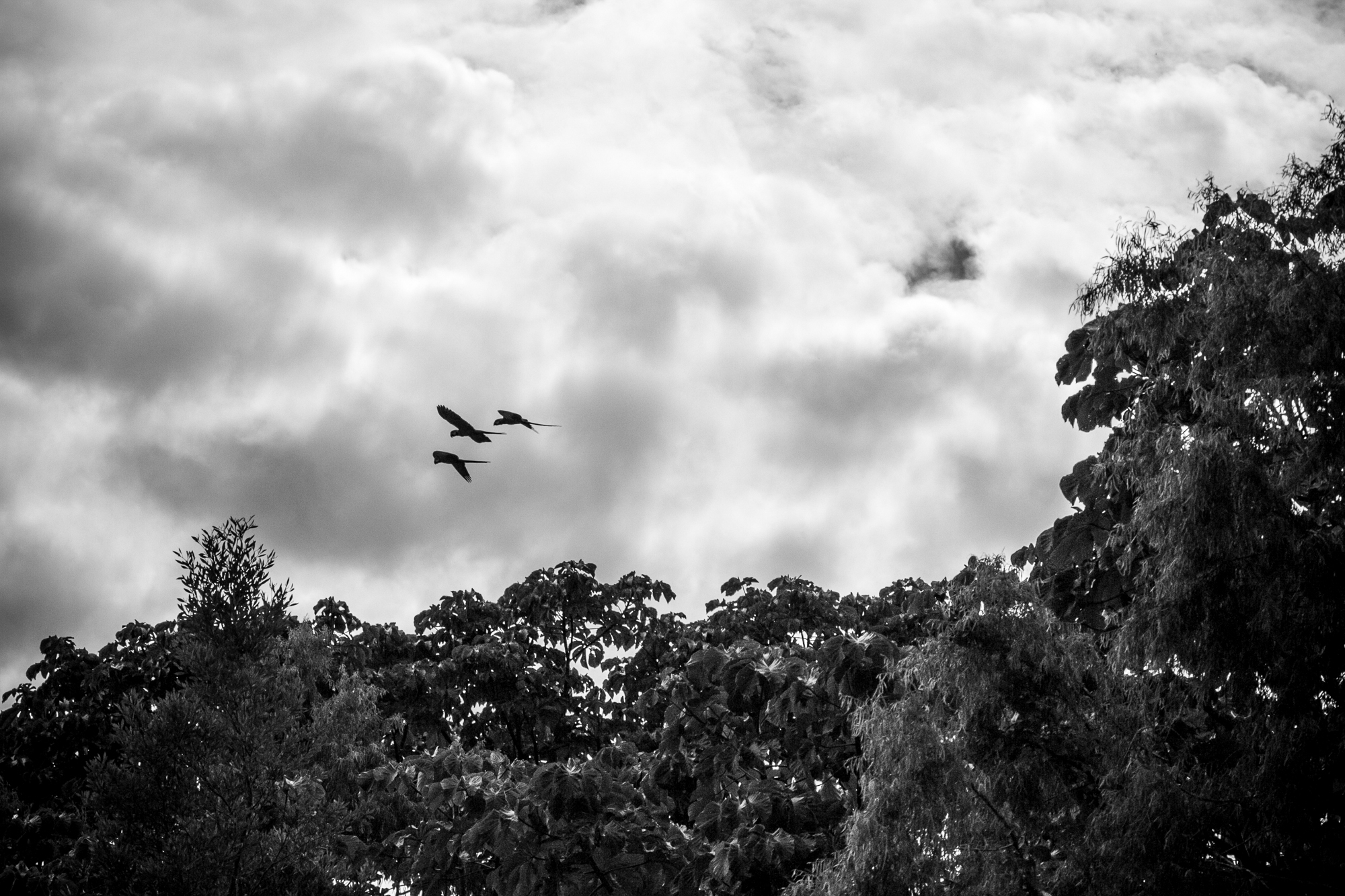 Group of Macaw parrots flying overhead.